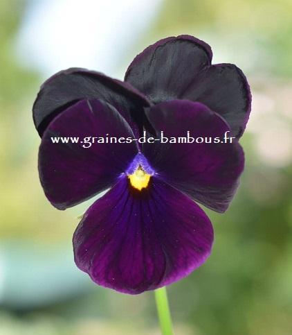 Pensee geante de suisse black panther graines de bambous fr 1