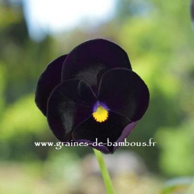 Pensee geante de suisse black panther graines de bambous fr 3