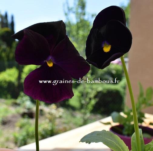 Pensee geante de suisse black panther graines de bambous fr 4