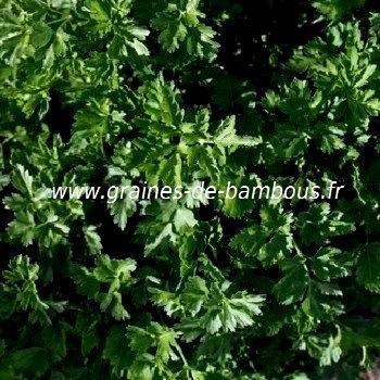 Persil frise thujade vert fonce 1
