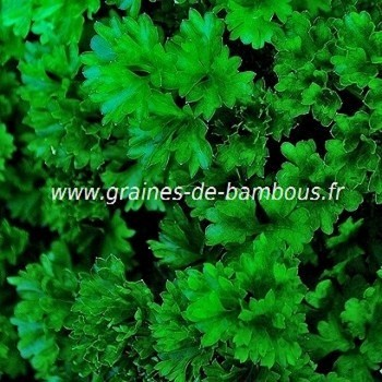 Persil frise vert tres fonce thujade graines