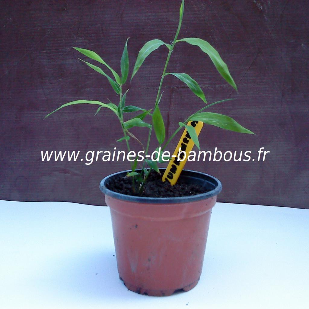 petit-plant-de-fargesia-yunnanensis.jpg