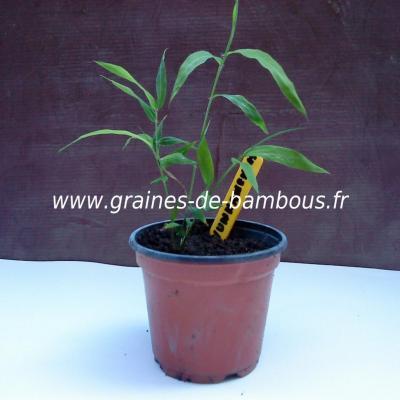 Fargésia sp.Yunnanensis 100 graines réf.150b