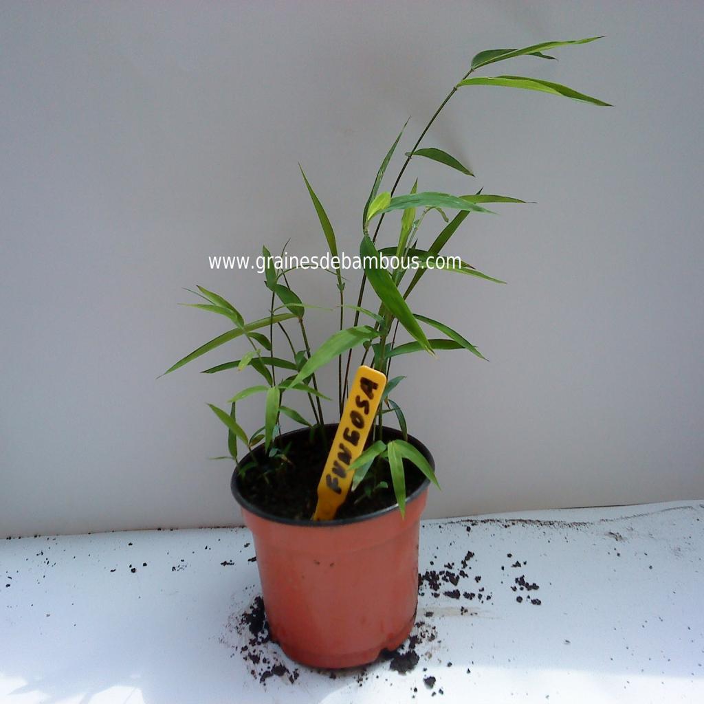 petit-plant-de-fungosa.jpg
