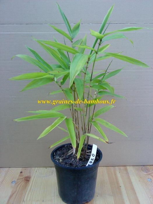 Petit plant de moso www graines de bambous fr 2
