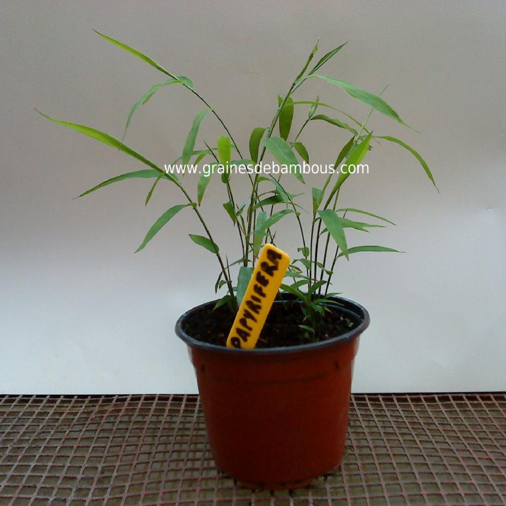 petit-plant-de-papyrifera.jpg