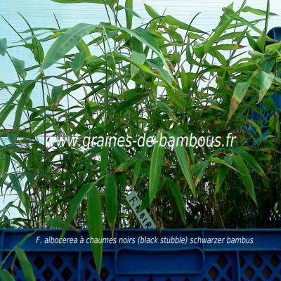 Fargésia sp.''Albocerea black'' 100 graines réf.320b