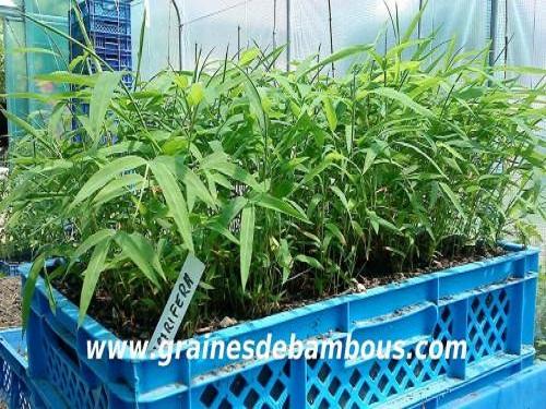 Petits plants de fargesia papyrifera a repiquer site 24