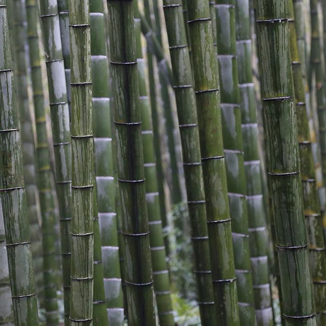 Phyllostachys edulis graines de bambous fr