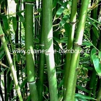 Phyllostachys heteroclada graines de bambous fr