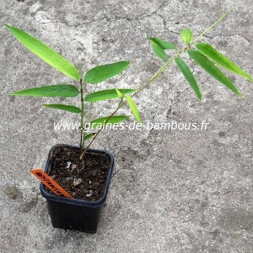 Phyllostachys heteroclada petit plant