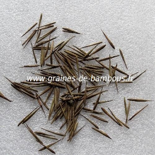Phyllostachys nigra graines bambous