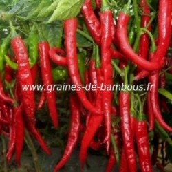 Piment cayenne long slim cayenne graines