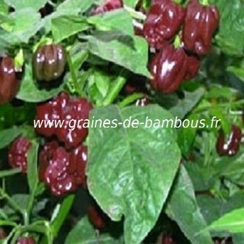 Piment Habanero chocolat réf.396