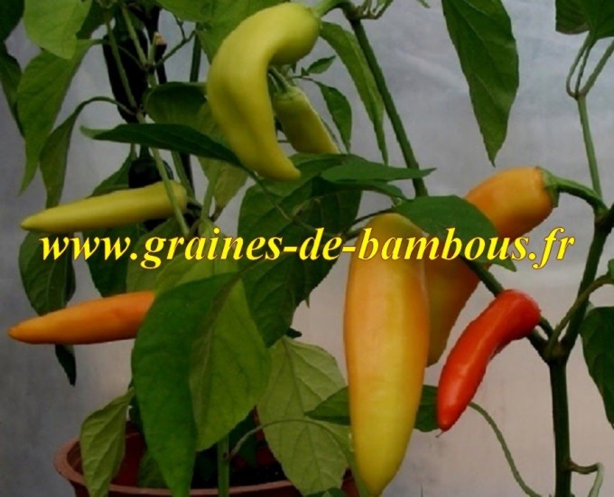 Piment-hungarian-fort-scoville-6