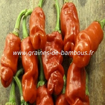 piment-penis-orange-www-graines-de-bambous-fr-1.jpg