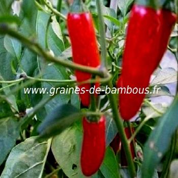 piment-serrano-tampequino-www-graines-de-bambous-fr-3.jpg