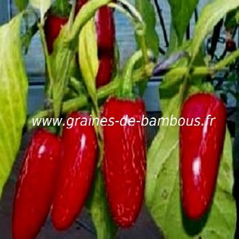 piment-tam-jalapeno-www-graines-de-bambous-fr-1.jpg
