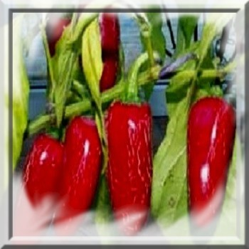 piment-tam-jalapeno-www-graines-de-bambous-fr-www-grainesdebambous-com.jpg