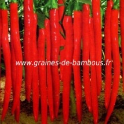 Piment cayenne rouge long slim