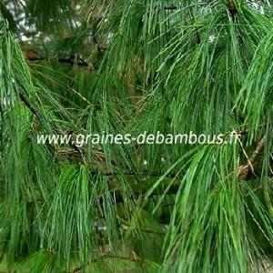 Pin conifere pinus wallichiana tree seeds www graines de bambous fr
