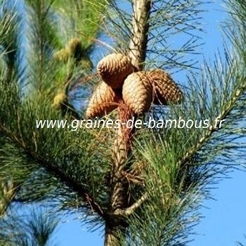 Pin de monterey pinus radiata graines de bambous fr