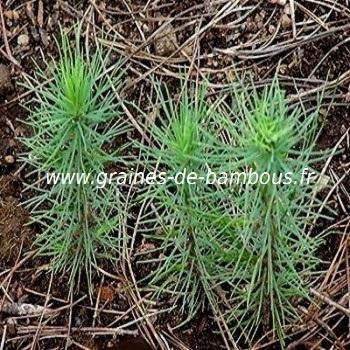 Pin de monterey semis graines de bambous fr