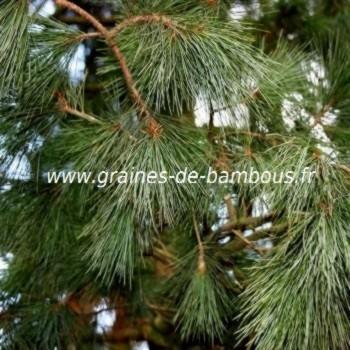 Pin pleureur de l himalaya conifere pinus wallichiana