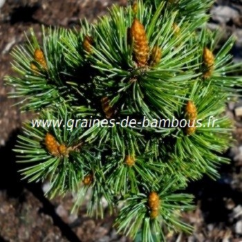 Pinus halepensis pin d alep