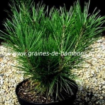 Pinus wallichiana pin pleureur plant