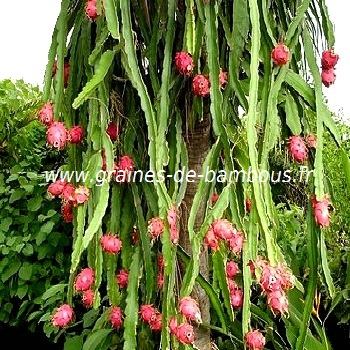 Graines de pitaya fruit du dragon hylocereus undatus seeds - Arbre fruit du dragon ...