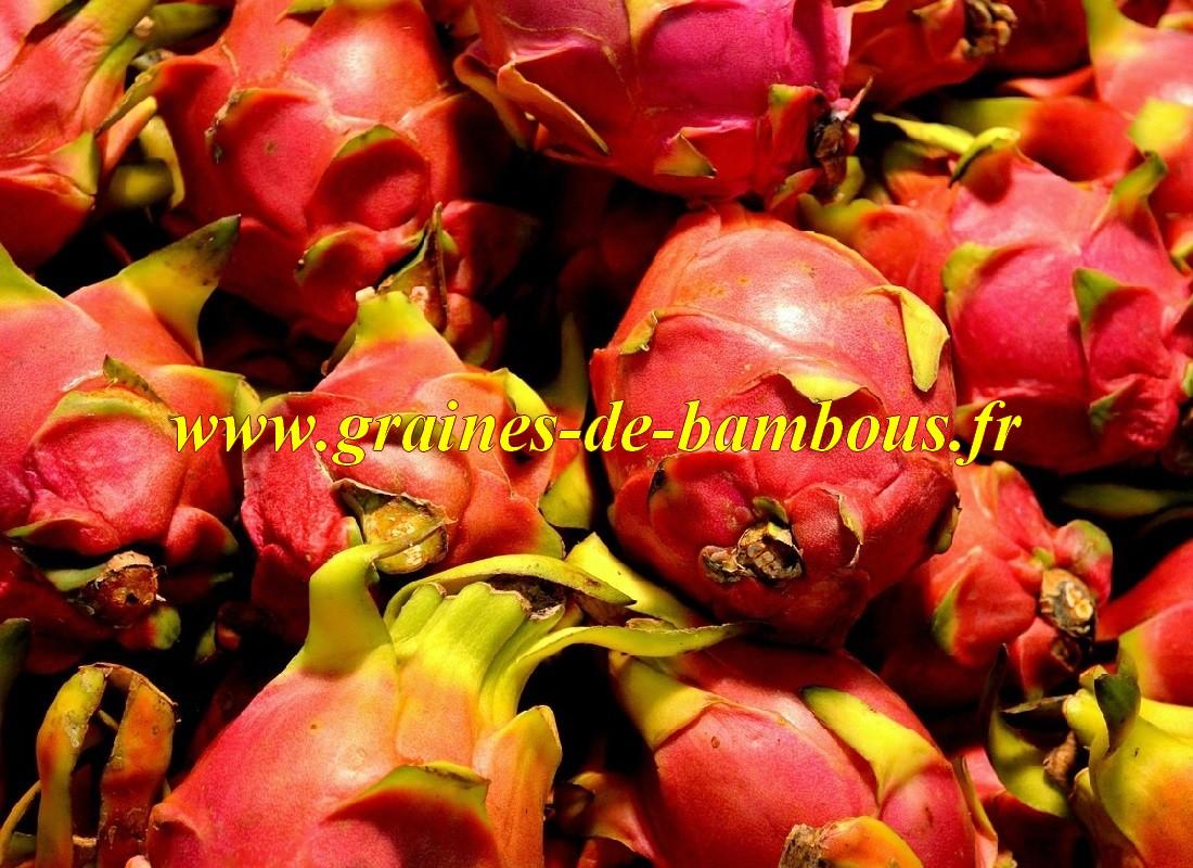Pitaya hylocereus undatus dragon fruit graines de bambous fr