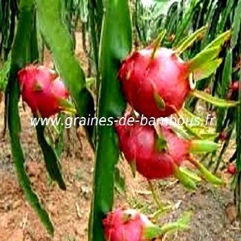 Pitaya ou fruit du dragon réf.519