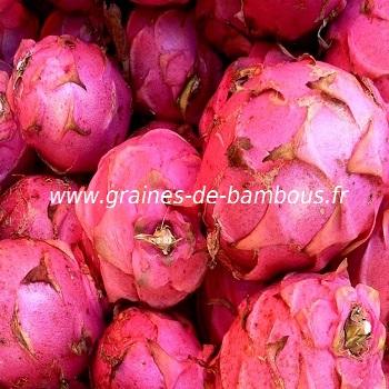 pitaya-rose-www-graines-de-bambous-fr.jpg