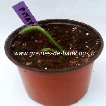 Pitaya semis graines de bambous fr