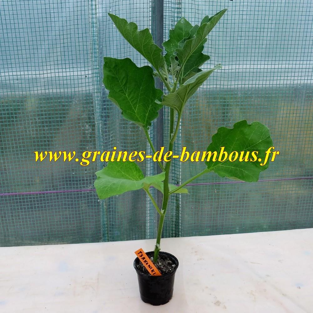 Plant aubergine tsakoniki graines de bambous fr