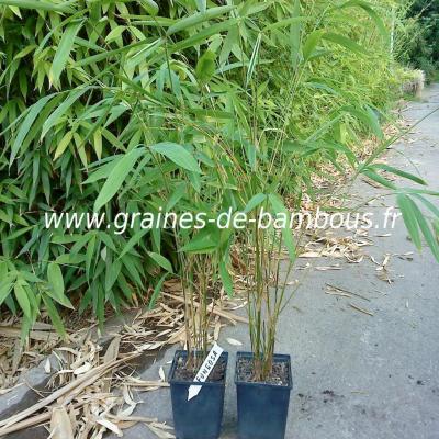 10 Plants de Bambous Fargésia sp.Fungosa 1 litre