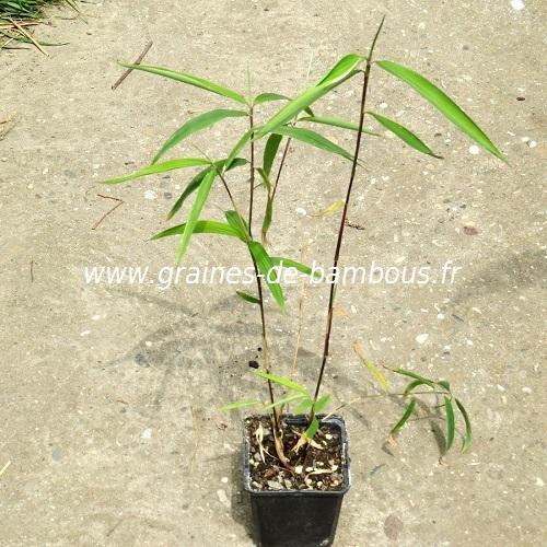 Fargésia sp.''Albocerea black'' 50 graines réf.320a