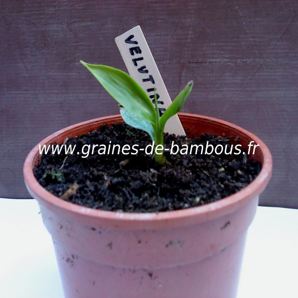 plant-bananier-musa-velutina-www-graines-de-bambous-fr.jpg