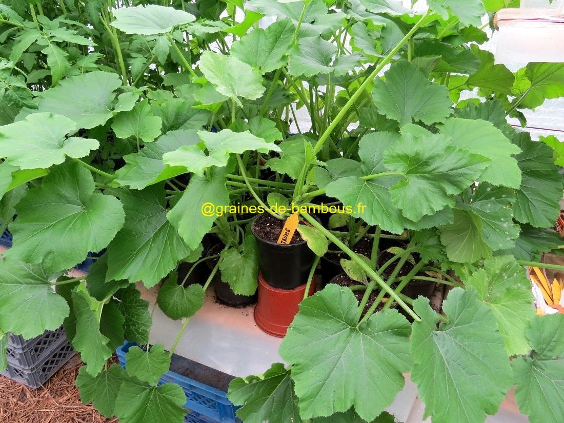 Plant courgette jaune