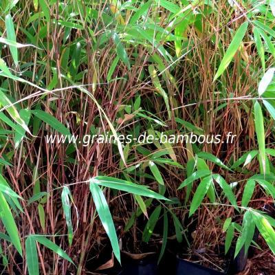 10 Plants de Bambous Yushania Fungosa F.Dadong 1 litre