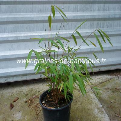 Fargésia sp.Gaolinensis 50 graines réf.120a
