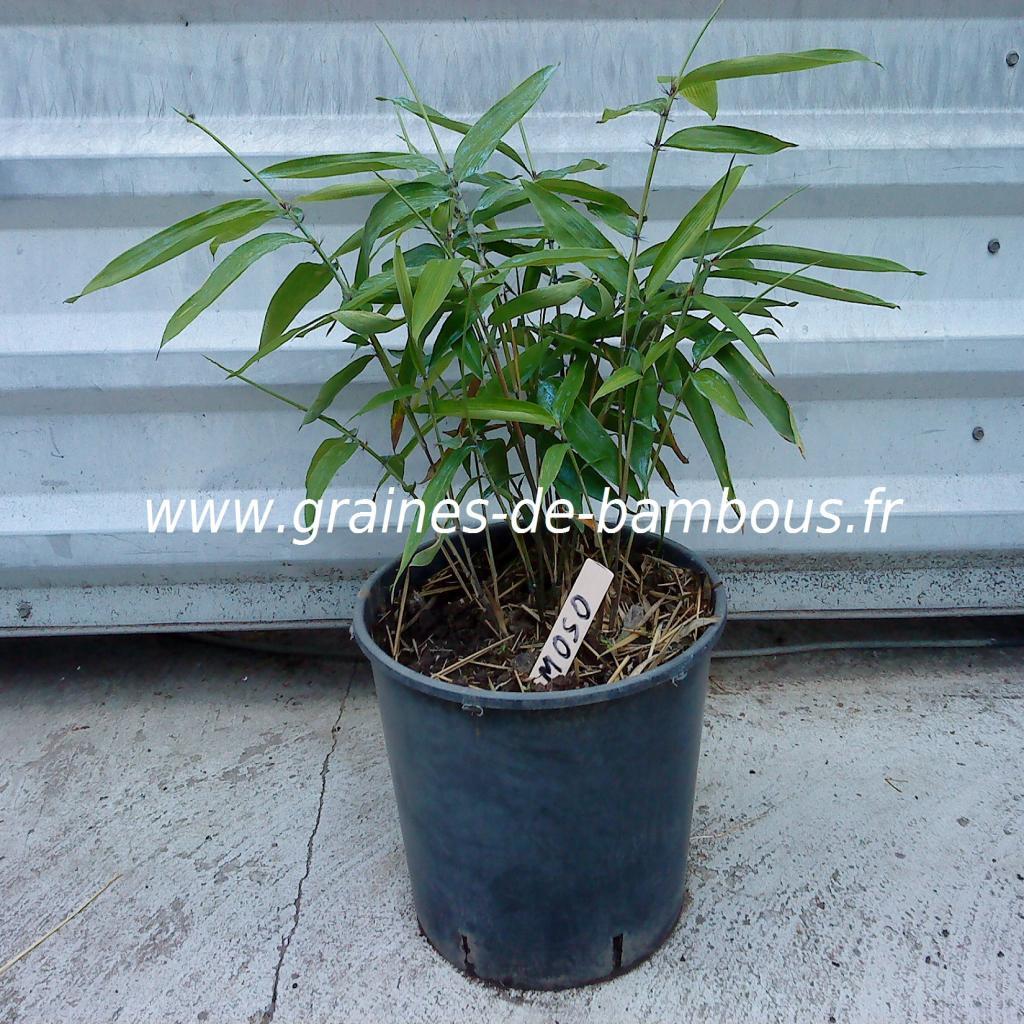 plant-de-moso-pubescens-9.jpg