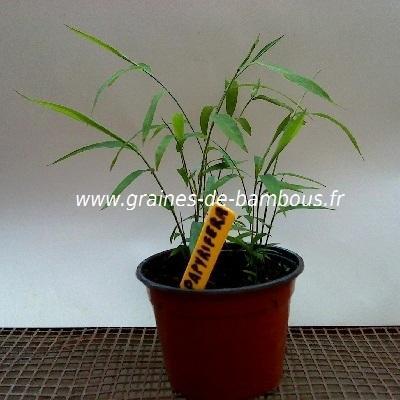 Fargésia sp.Papyrifera 50 graines réf.130a