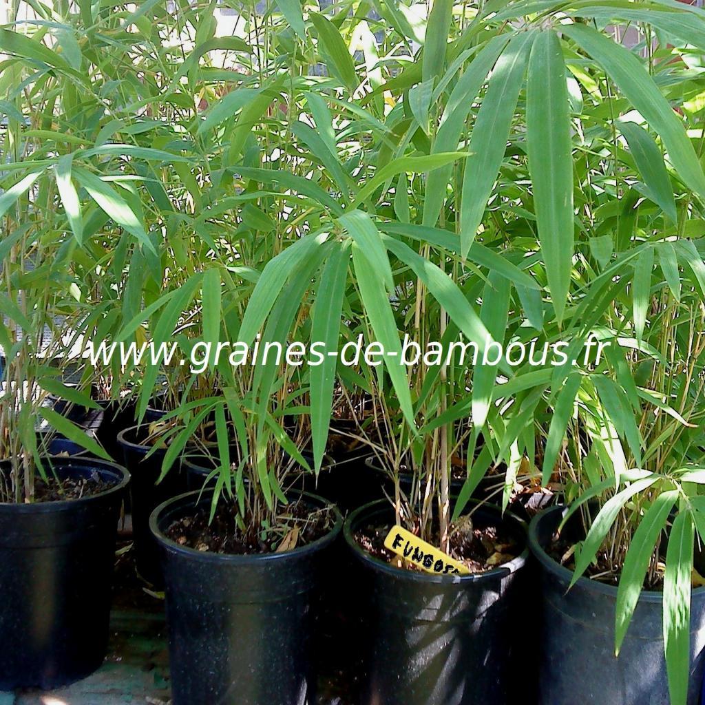 plants-de-fargesia-fungosa.jpg