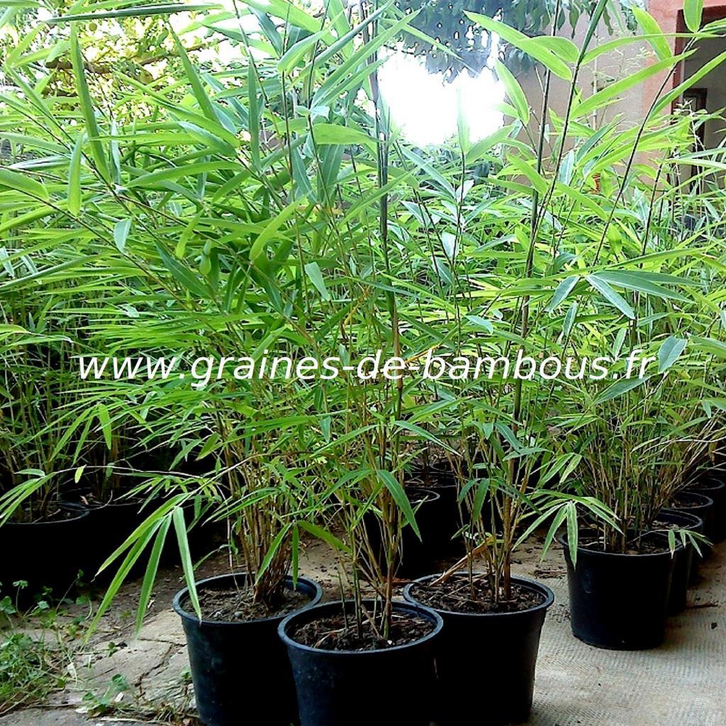 plants-de-fargesia-gaolinensis.jpg