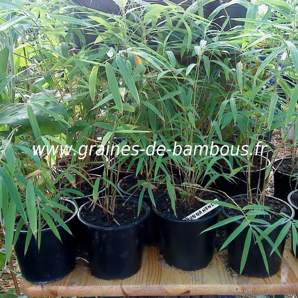 plants-de-fargesias-yunnanensis.jpg