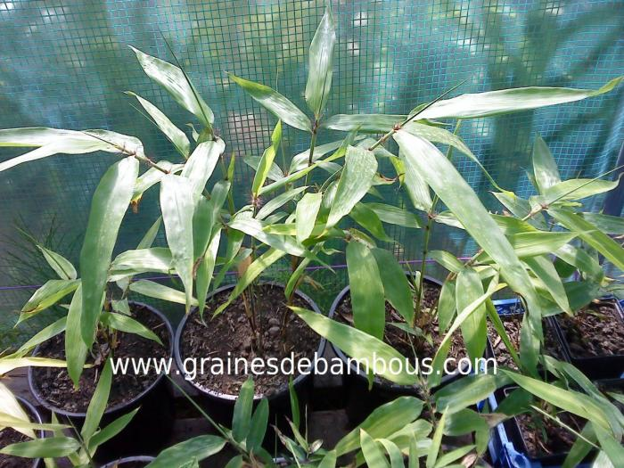 Plants de moso 1 2