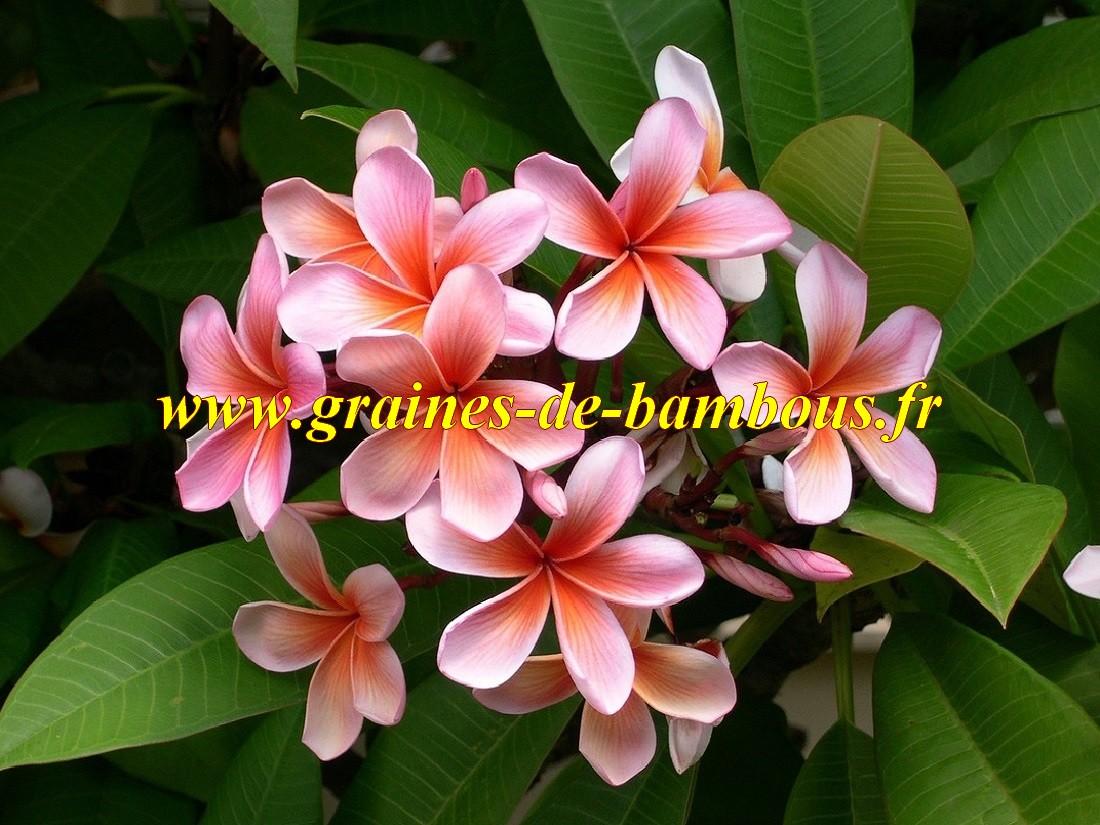 Plumeria ou frangipanier graines
