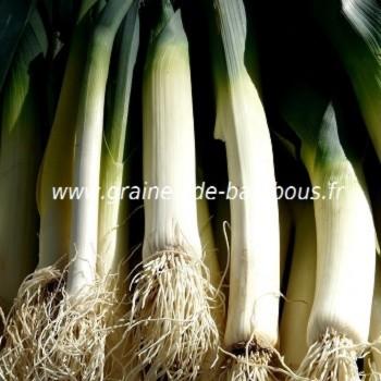 Poireau geant suisse graines de bambous fr